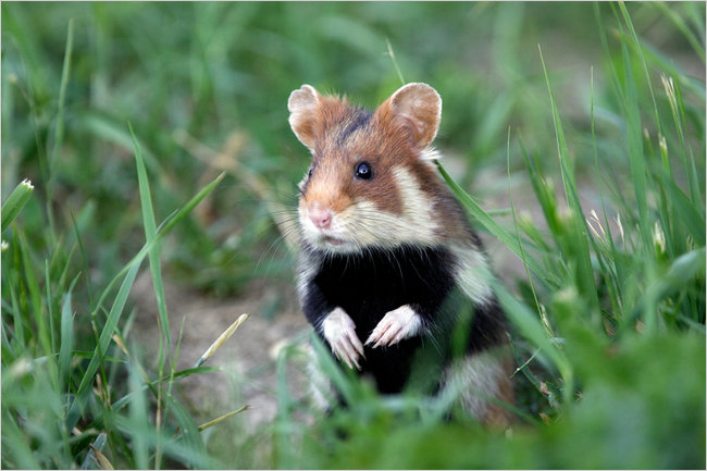 hamster_deurope_a_lecoute